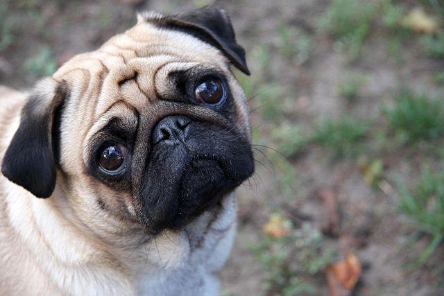 640px-Sad-pug